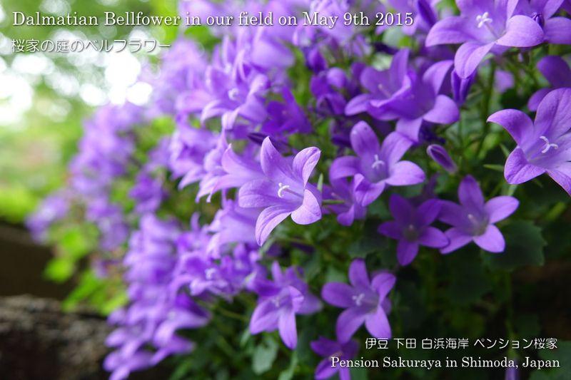 150509flower01