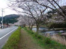 070331sakura02_1