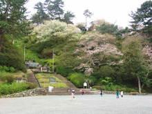 090331sakura02_2